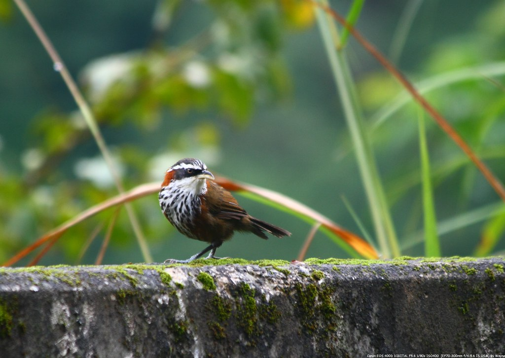 小彎嘴 Streak-breasted Scimitar-Babbler - IMG_1387