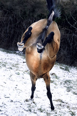 yippee! first snow! (Dan65) Tags: winter horse 6 white snow ice gold golden jump bravo kick explore hop headstand buckskin dun teke akhal akhalteke gazan