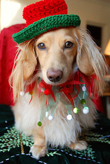Honey with hat (Doxieone) Tags: christmas red dog holiday cute green english long cream dachshund honey blonde 12 haired mostpopular coll ggg 2do longhaired theset honeydog englishcream xmas2008 honeyset 12daysofhoneyset2008
