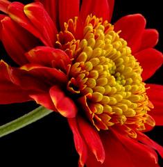 Weekend Wonder (Vanda's Pictures) Tags: flowers red flower macro yellow gold bravo weekend petal vanda friday excellence anawesomeshot
