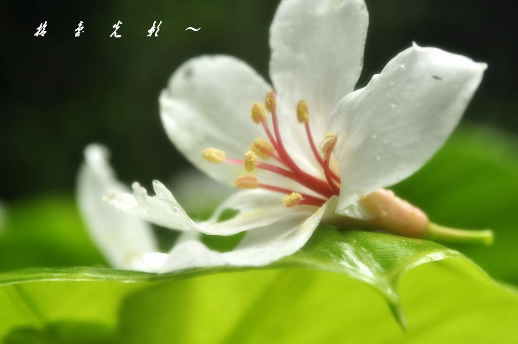 990428 拾 壹 光 影 ~ 油桐花