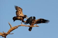 Bald Eagle Pillow Fight (Susan K Shoots Nikon) Tags: bird nature nikon eagle florida hawk bald raptor owl fledgling birdsofprey d700 susankopchinsky