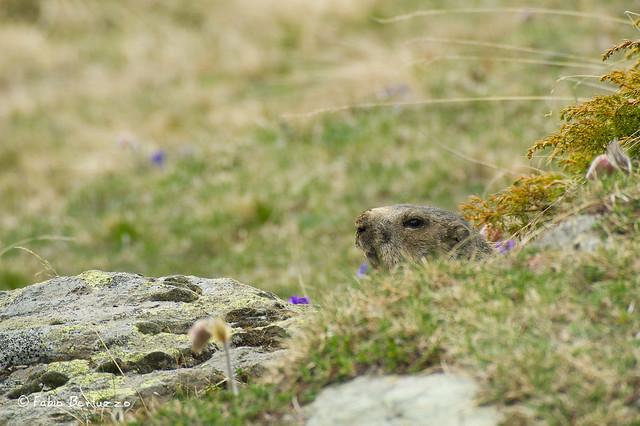 15. Marmotta all'Alpe Cortina