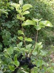 3 months later - two grafts have taken! (London Permaculture) Tags: tree apple cleft grafting graft grafts forestgarden organicandgmofreeworld manchesterdriveallotments