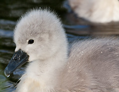 Hydrophobic Cygnet  (Cygnus olor) (Michael G Devereux) Tags: ireland baby cute bird nature water animal animals canon river swan clare babies cygnet fluffy photograph chicks riverbank ul limerick osiris muteswan cygnusolor babyanimal hydrophobic babyswan universityoflimerick rivershannon