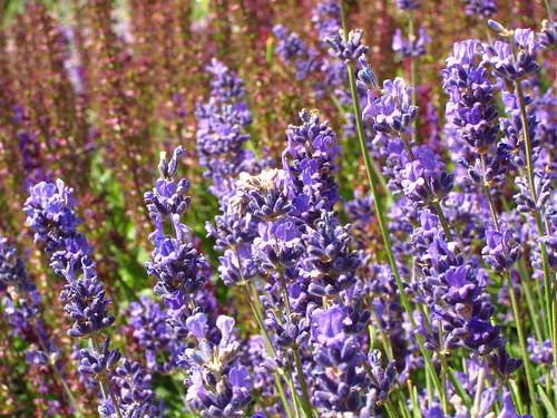 Lavender in the Duke's Garden at Kew