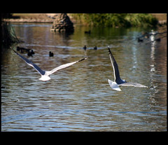 Spread your love and fly.. (Cherishlovespink) Tags: park love nature birds fly pond bahaha cherishlovespink diamondclassphotographer flickrdiamond didsomeonesayfly