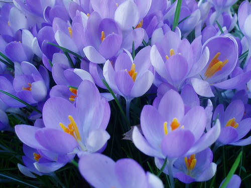 Light Purple Crocus
