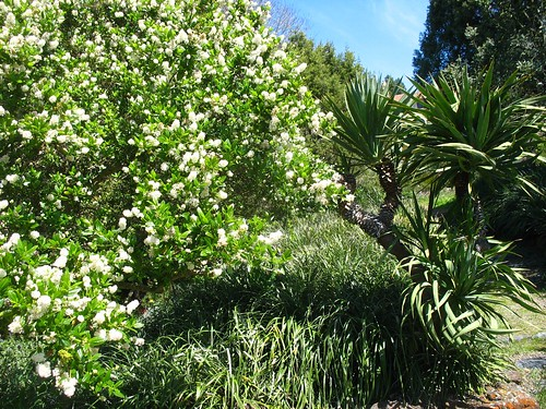 Ceanothus (Blake Garden)