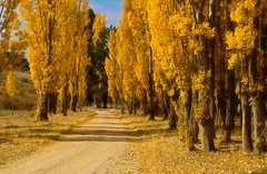 Autumn (borealnz) Tags: road autumn trees newzealand fall leaves gold track alexandra nz centralotago ih poplars firstquality borealnz