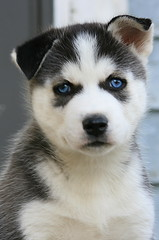 all ears and eyes (Five eyes) Tags: blue dog white black animal puppy mammal eyes husky siberian 4809 challengeyouwinner photofaceoffwinner pfogold april302008