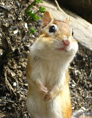 Cheese!... I mean Seeds! (J.Richardson) Tags: eating seeds chipmunk chip chippy munk