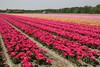 De bollenvelden rond Noordwijk, 5 mei 2008 (Martha de Jong-Lantink) Tags: tulips fietsen noordwijk tulpen tulp bollenvelden tulpenbollen tulpenbol