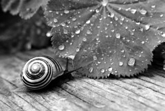 Snail Drops (peterkelly) Tags: bw ontario canada film water rain bench droplets leaf drops centre hamilton snail canadian northamerica antennae rbg royalbotanicalgardens