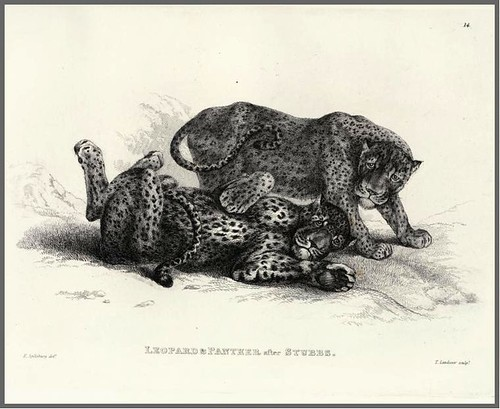 09-Leopard and panther after Stubbs