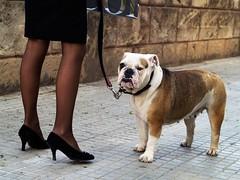 Winston Street (Sator Arepo) Tags: street dog fashion nose reflex olympus bulldog churchill widow mallorca lead zuiko winston palmademallorca e500 uro 50mmmacroed iberiastreets gettyimagesiberiaq2