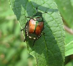 Japanese Beetle (*~Tammy~*) Tags: nature georgia pretty dragonfly bugs naturesfinest toccoa junebugs platinumphoto anawesomeshot naturewatcher buzznbugz excapture hendersonfallspark