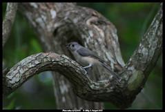 Tufted Titmouse - Parus Bicolor (CARIBOUB) Tags: birds tuftedtitmouse escambiacountyflorida
