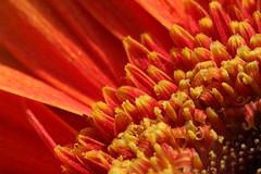 Gerbera_140608_1 (alstroemeria1) Tags: orange schweiz pflanzen luzern gerbera makro garten baum asteraceae farben kriens schnittblume blten amstutzstrasse pflanzensystematisch