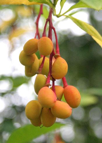 indian_plum