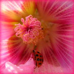 Visit from a Ladybug (Batikart) Tags: pink plant flower macro nature rose closeup canon germany geotagged ilovenature deutschland flora europa europe blossom natur beetle pflanze rosa ladybug malvaceae pollen blume makro 2008 blte hollyhock st