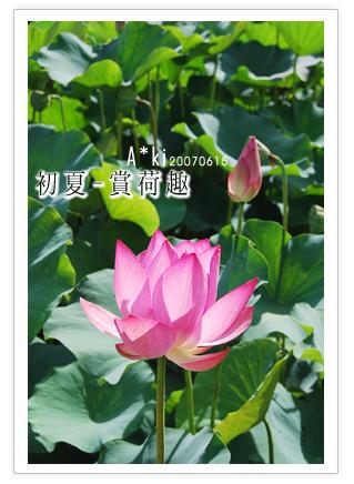 【中興新村蓮花】南投中興新村~蓮花季中興新村蓮花