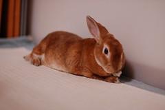 DSC_6830 (choimakko) Tags: rabbit bunny
