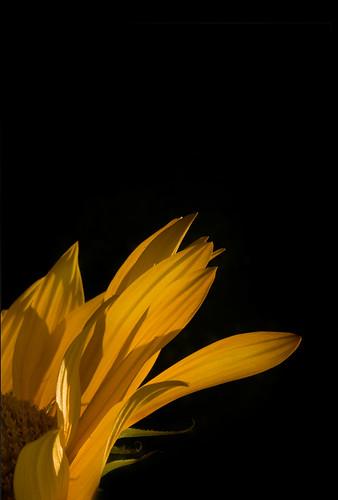 Floarea soarelui (nimic mai potrivit decat atat)