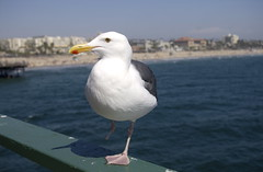The Amputee of Santa Monica... (m1tch92) Tags: california bird beach pier pentax santamonica seagull southerncalifornia amputee legless missingleg platinumphoto