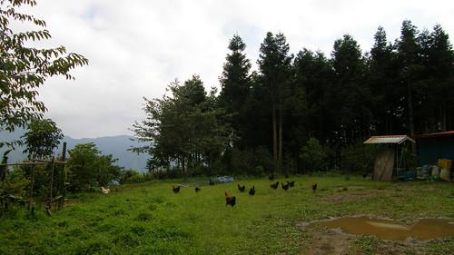 36.環境清幽的雞園