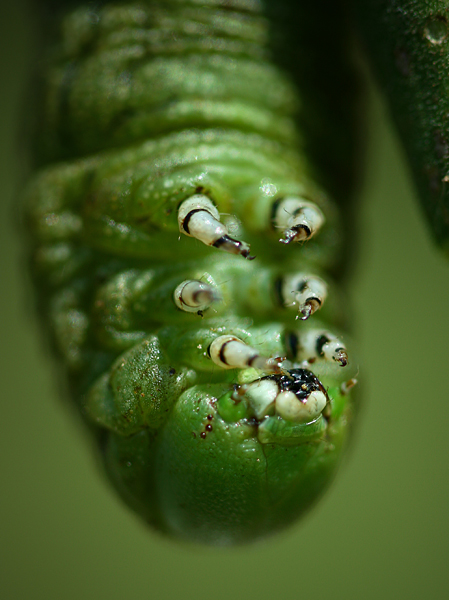 Tomato Hornworm-Up close and personal