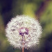 Dandelion by denıse