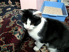 Contender 1 (Bricheno) Tags: cat scotland fight pussy escocia catfight pussycat kilmarnock szkocja pussies schottland scozia cosse littertray notmycat  esccia   pussyonpussyaction bricheno scoia
