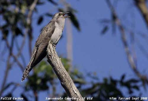 Pallid Cuckoo (Cuculus pallidus) by aviceda.