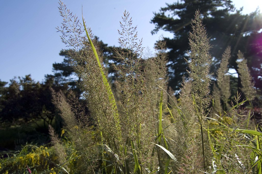 Korean feather-reed grass