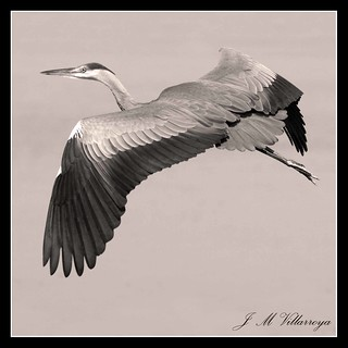 Heron - P9266539ts