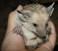 Hedgehog at Night - Introduction (BlueLunarRose) Tags: baby cute nature animal night hedge hedgehog cuteanimal