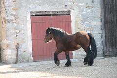 Umour de la Vue, sa famille, ses copains et ses copines... (Gypsy Cob) Tags: stallion draf