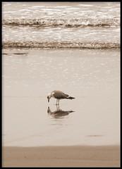 Um... c'est moi? (Ese P) Tags: mar agua gijón asturias playa ave reflejo gaviota cantábrico