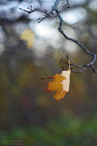 Autumn leaf hanging on...