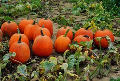 The Great Pumpkins