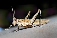 grasshopper (k.rajeev) Tags: loveit grasshopper loveitalwayscomment5