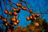 Persimmons (Uncle Phooey) Tags: blue wild orange halloween fruit rural scenic mo explore persimmons missouri ozarks southwestmissouri unclephooey