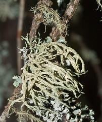 Evernia mesomorpha 'Boreal Perfume/Boreal Oakmoss Lichen' (?) (dougwaylett) Tags: wild canada native alberta lichen evernia fruticoselichen brownloweryprovincialpark everniamesomorpha borealoakmosslichen borealperfumelichen