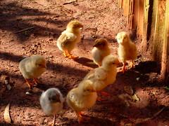 pintinhos (Tiago - Mogi Mirim) Tags: galinha stio pinto pintinhos