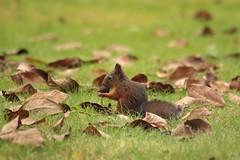 Nutty little f*ker ! ! ! (Count Rushmore) Tags: red nature gardens canon garden photography eos squirrel belgium d hasselt natuur rushmore 40 tuin count flanders flandres spirou rode stevoort eekhoorn vlaanderen spip natuurfotografie 40d countrushmore
