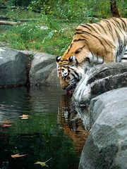 Tiger Mountain at the Bronx Zoo (margaret mendel) Tags: water grass animal rock zoo bronx tiger drinking bronxzoo largecat