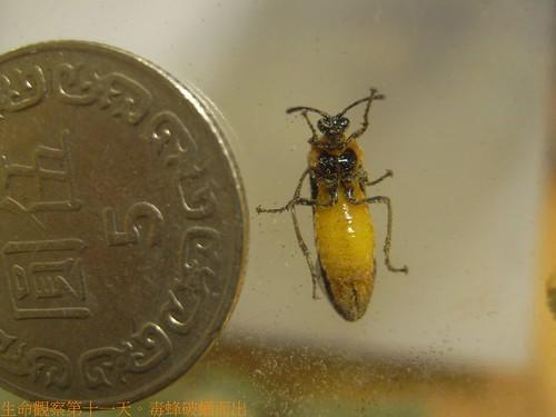你拍攝的 毒蜂破蛹而出。