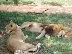 sleepy (make_change) Tags: southafrica johannesburg lionpark