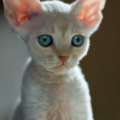 I'm Innocent (peter_hasselbom) Tags: portrait cats face backlight cat kitten blueeyes flash kittens ps devonrex 6weeksold 105mm sixweeksold cc100 redsilvertabby